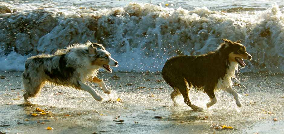 Dogs unleashed on Carmel Beach